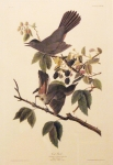 Audubon Engraving:  Cat Bird