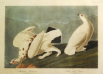 Audubon Engraving:  American Ptarmigan/White-Tailed Grouse